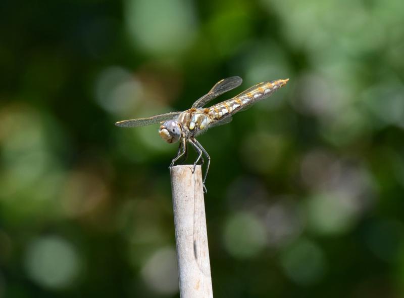 Dragon-Fly_DSC_6135