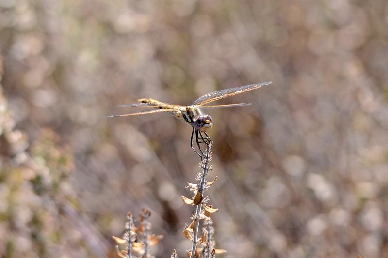 Dragonfly_DSC_8299