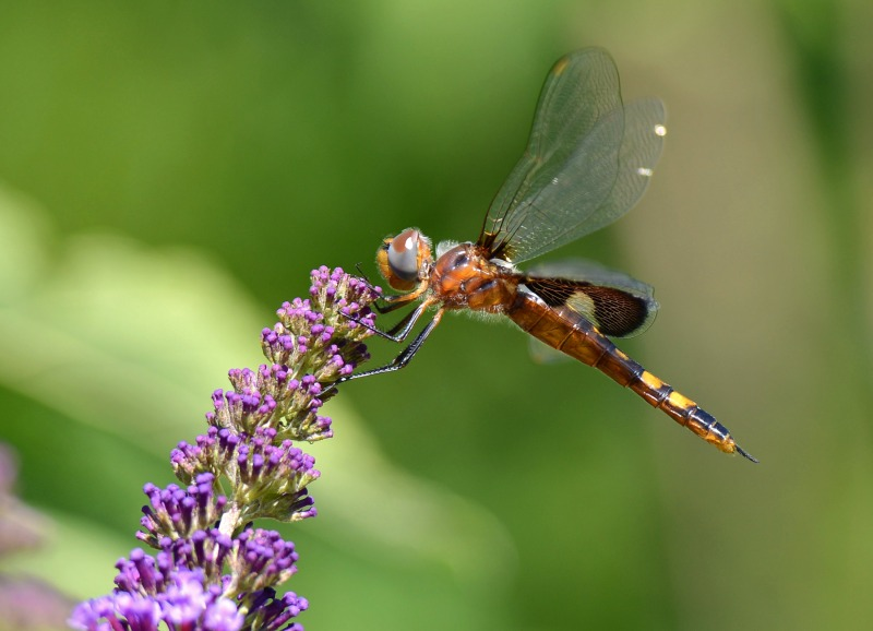 Dragonfly_DSC_8311