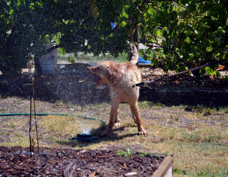 Ginger-Sprinkler-2