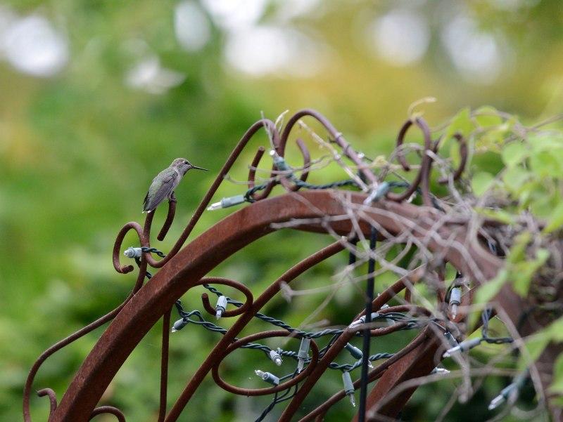 Hummingbird_DSC_6634