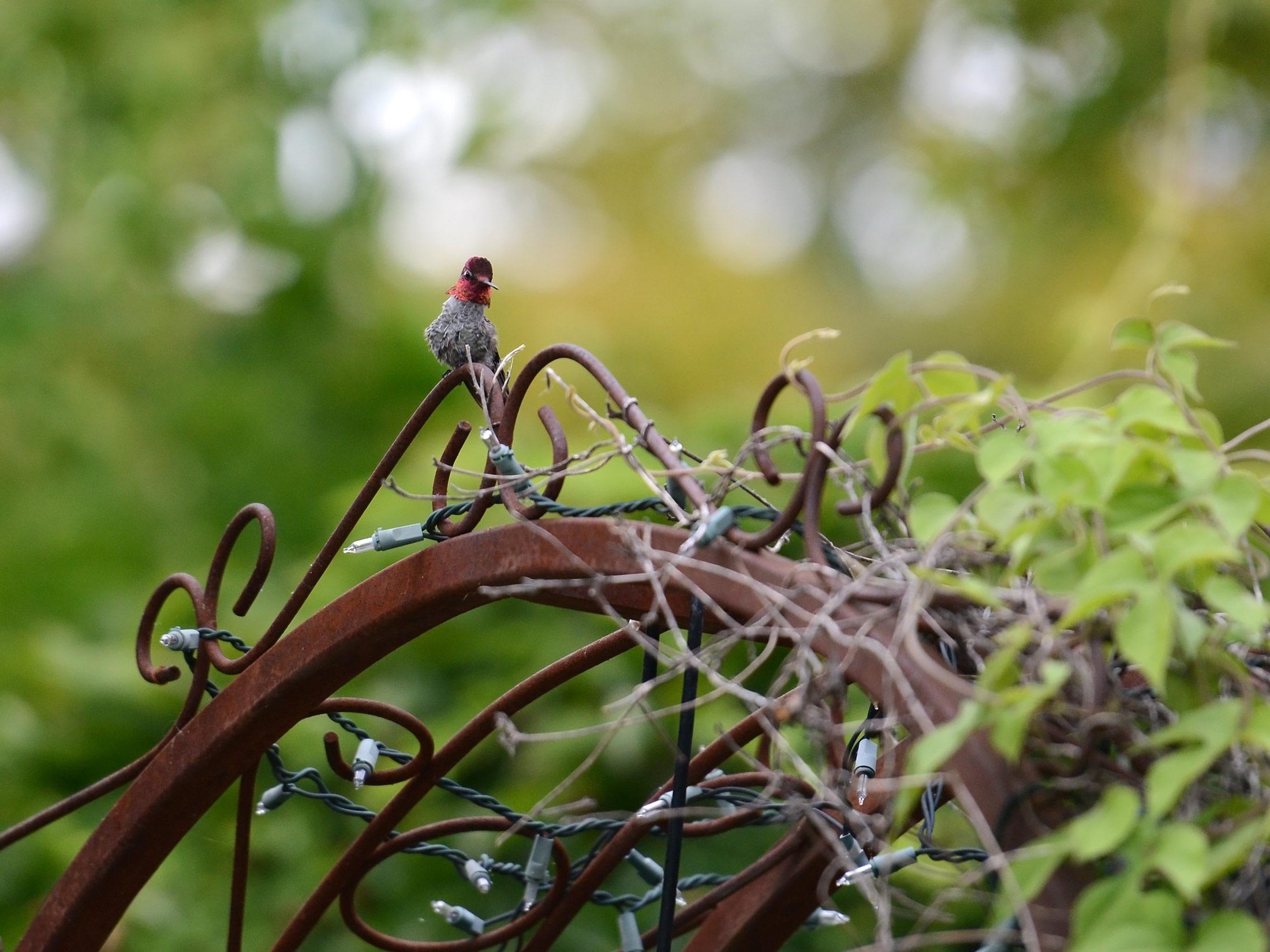 Hummingbird_DSC_6646