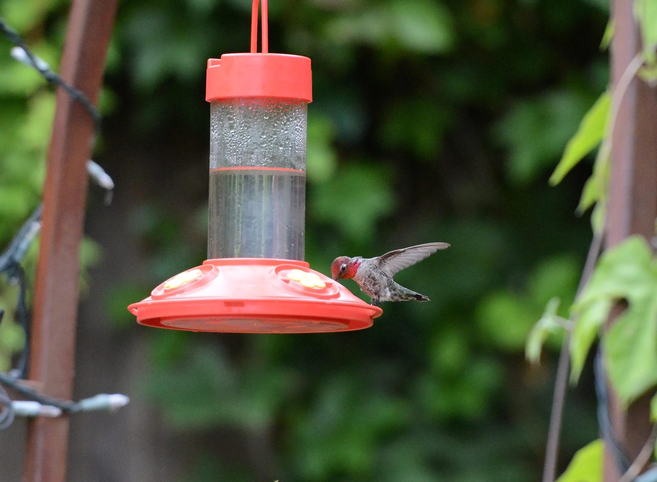 Hummingbird_DSC_6667