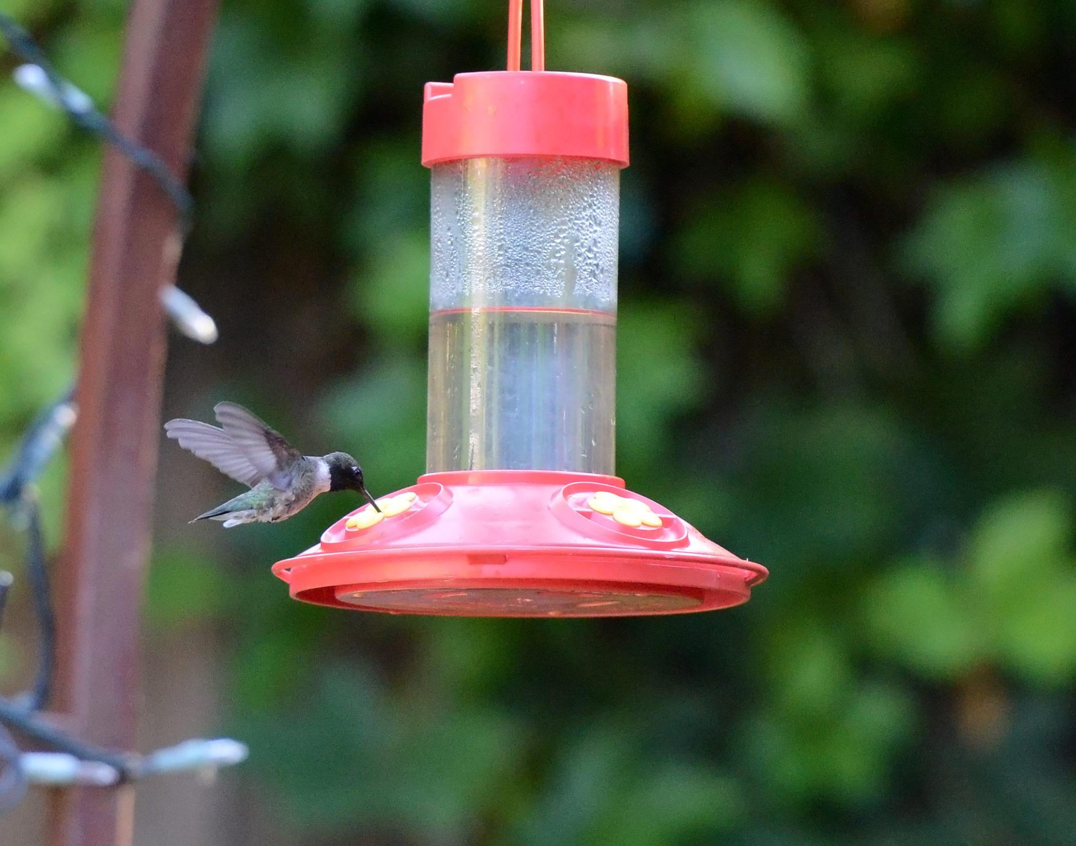 Hummingbird_DSC_6710