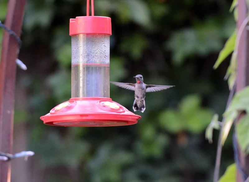 Hummingbird_DSC_6769