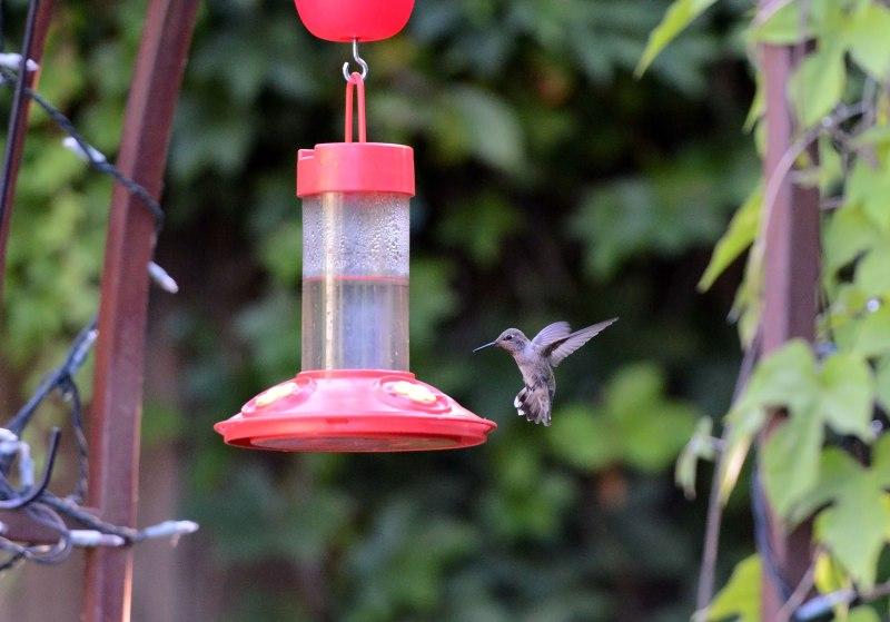 Hummingbird_DSC_6777