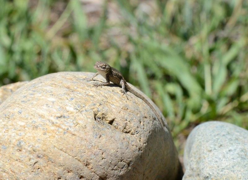 Lizard_DSC_7414