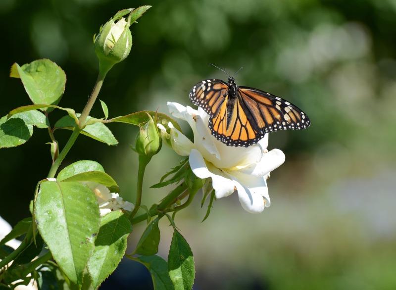Monarch_DSC_7328