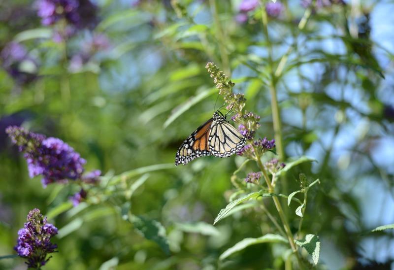 Monarch_DSC_7742
