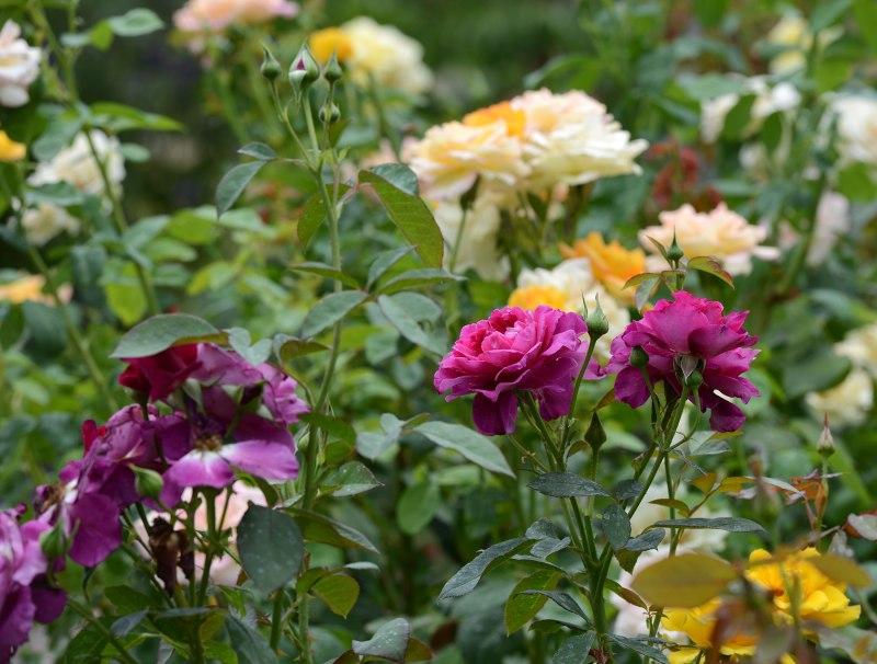 Roses_DSC_7916