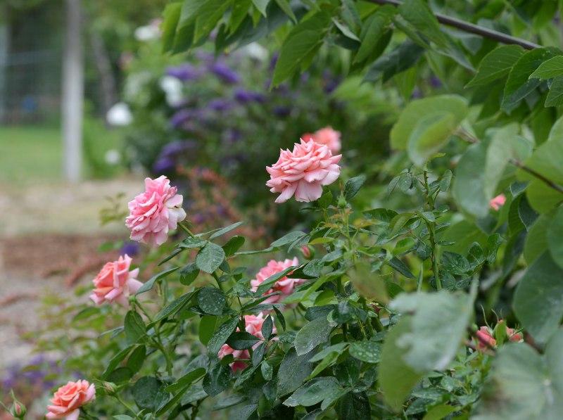Roses_DSC_7918