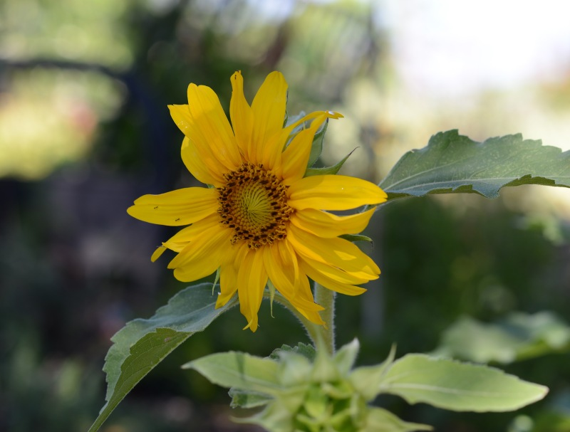 Sunflower_DSC_5825