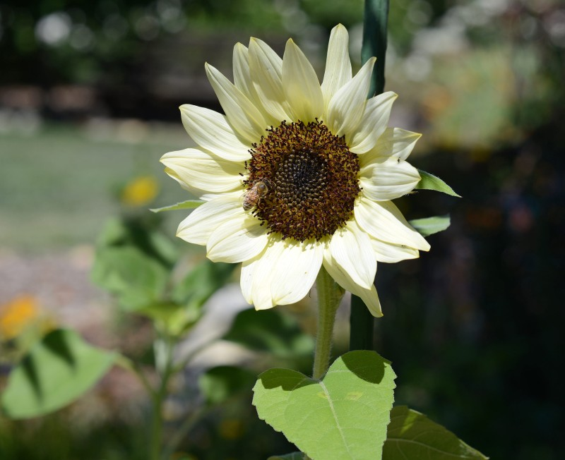 Sunflower_DSC_6041
