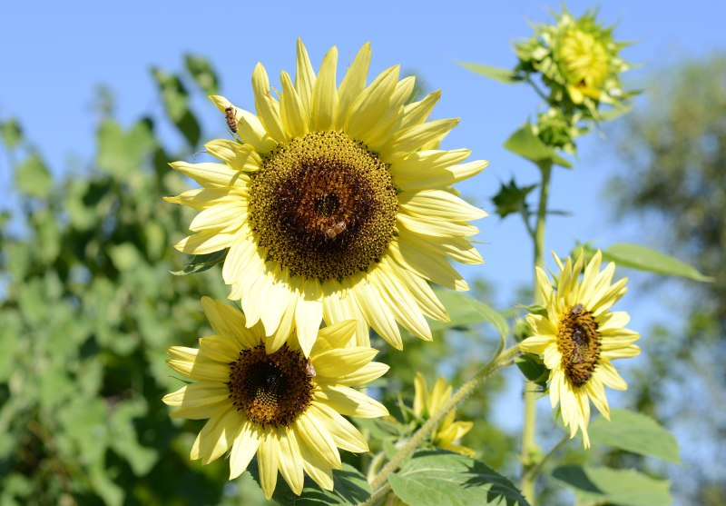 Sunflower_DSC_7257