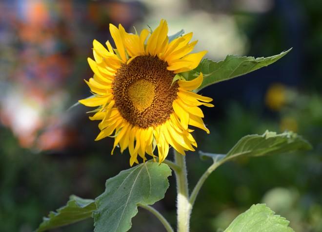 Sunflower_DSC_7734