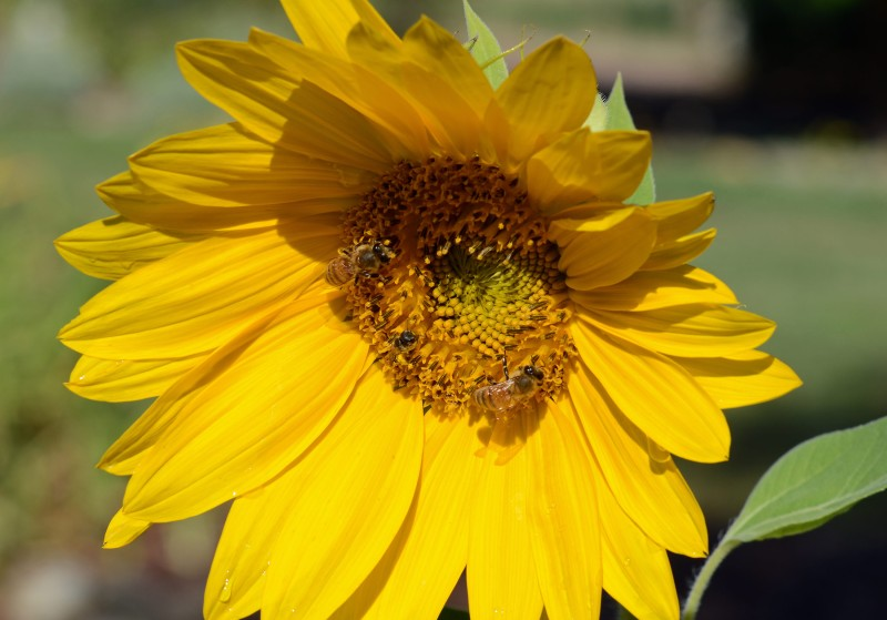 Sunflower_DSC_8266
