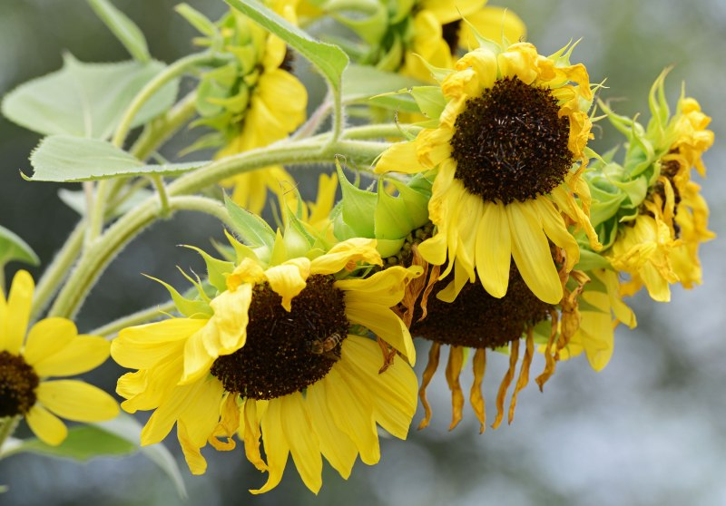Sunflower_DSC_8530