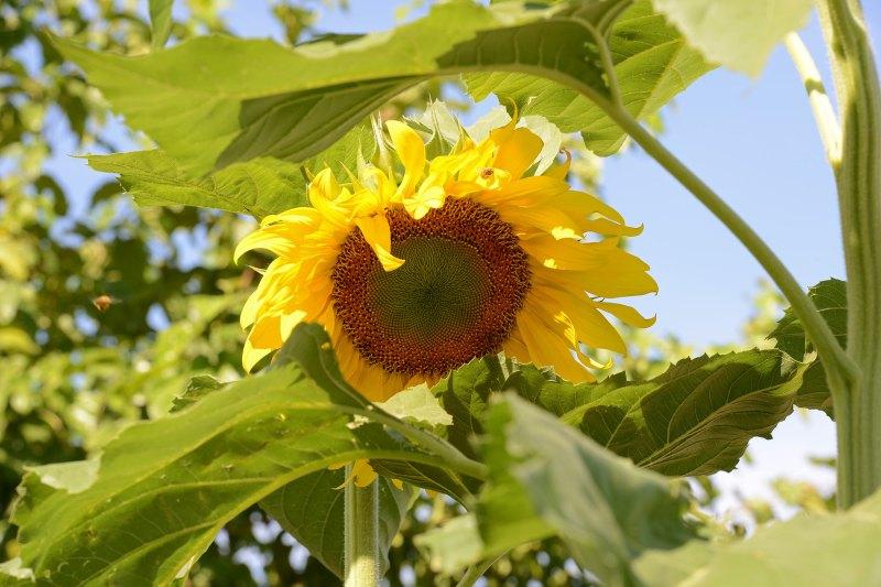 Sunflower_Giant_DSC_7724