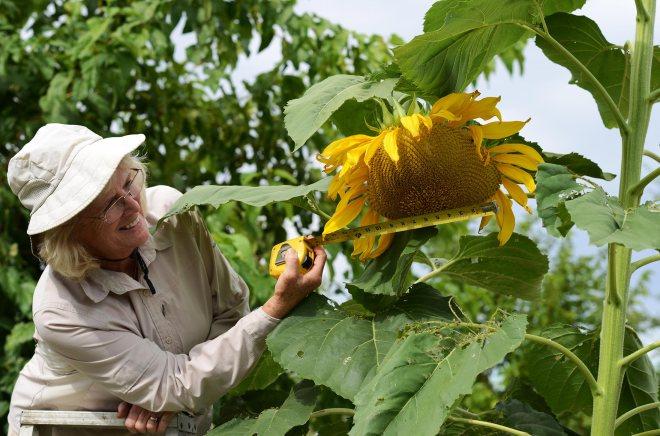 Sunflower_Measure_DSC_8397