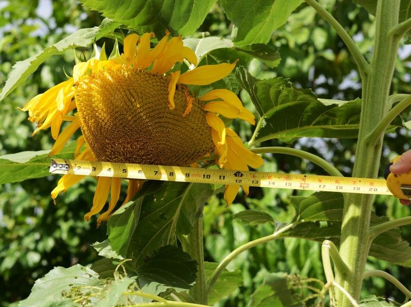 Sunflower_Measure_DSC_8407