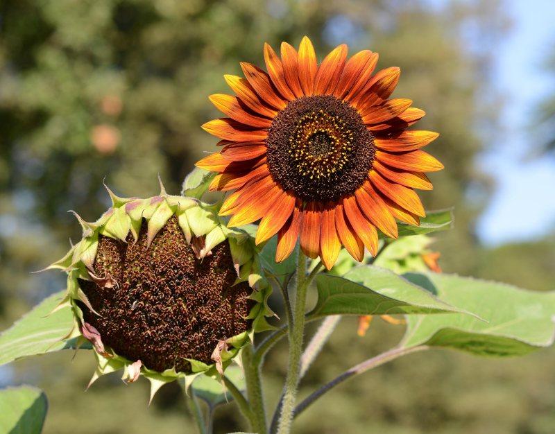 Sunflowers_DSC_5992