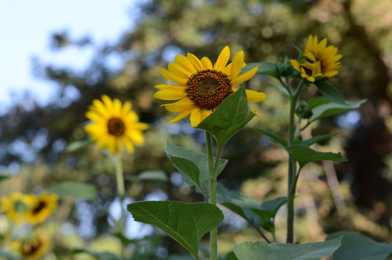 Sunflowers_DSC_5993