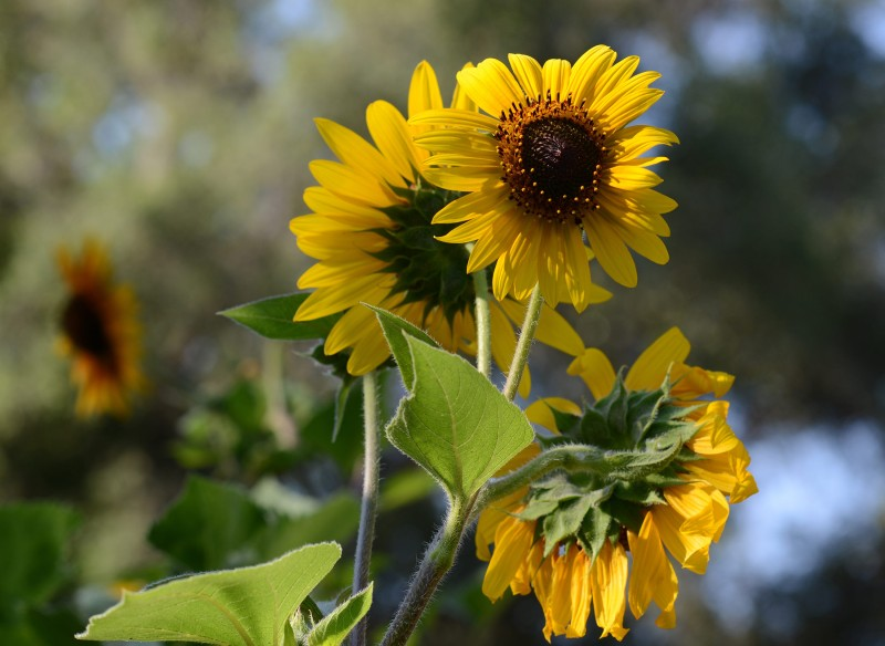 Sunflowers_DSC_5995