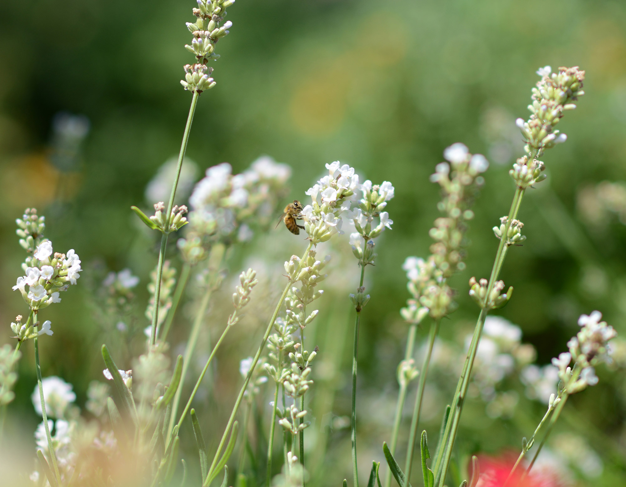 Bee_Lavender_DSC_3459