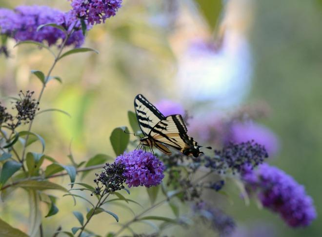 Butterfly_DSC_0299