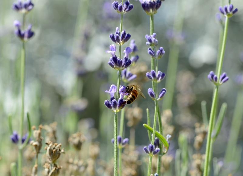 Lavender_DSC_0764