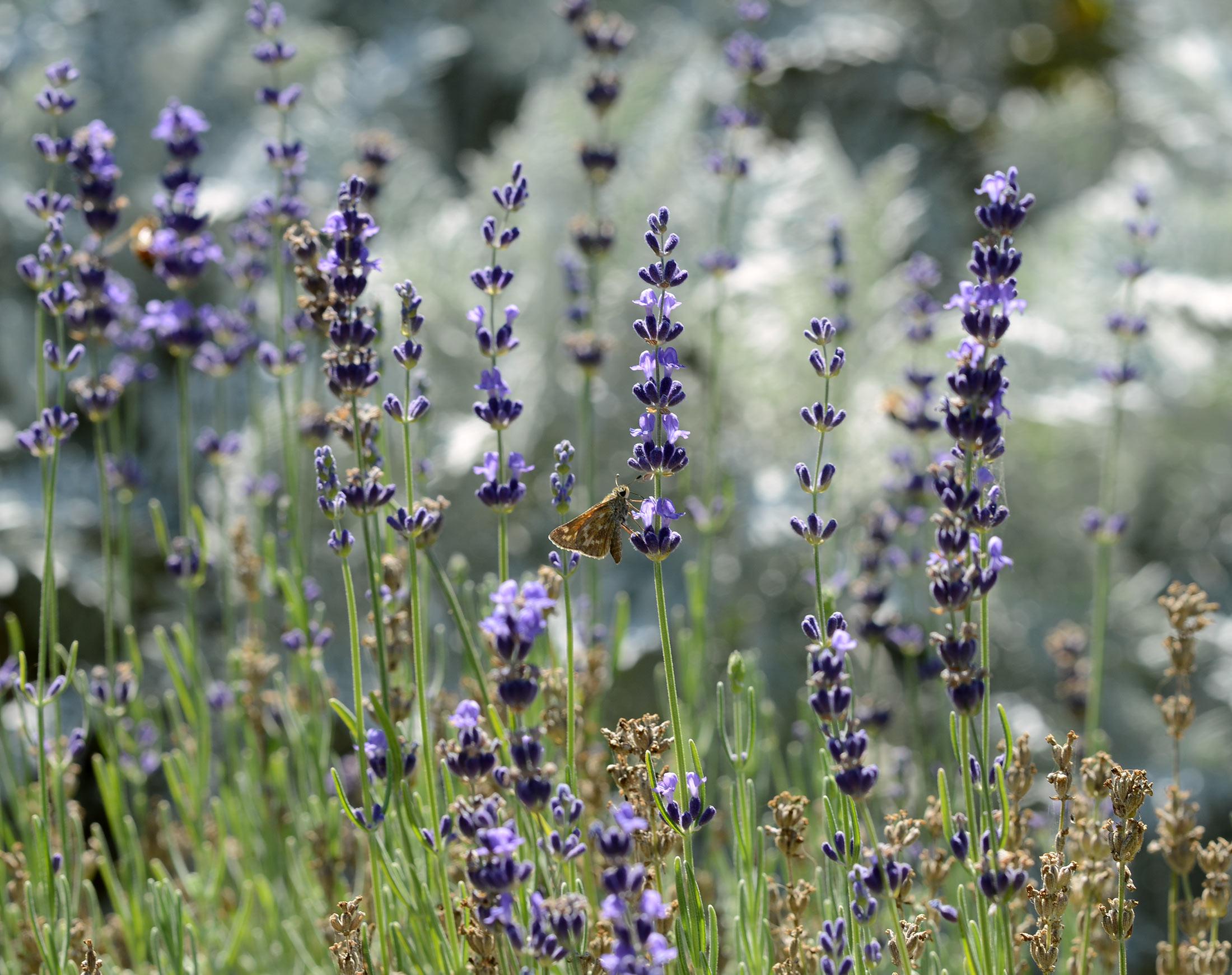 Lavender_DSC_0814