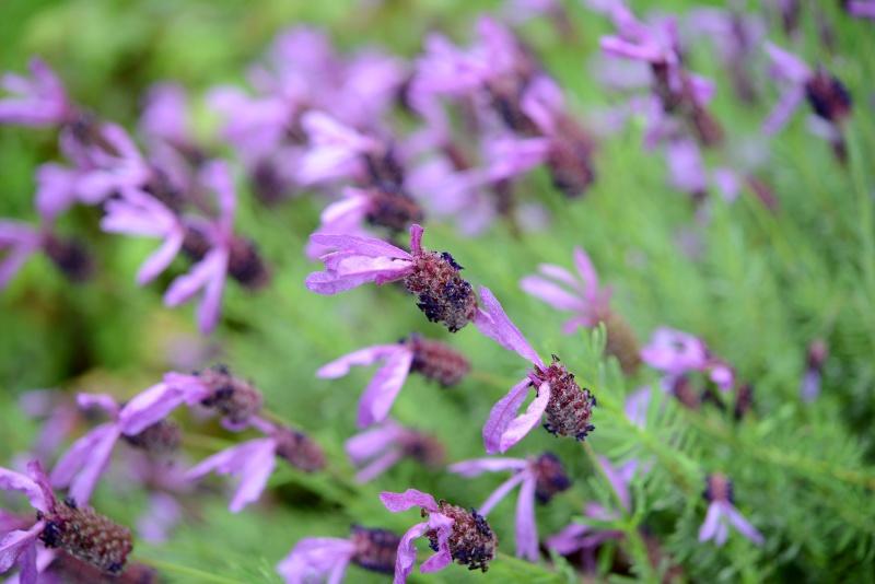 Lavender_DSC_9821
