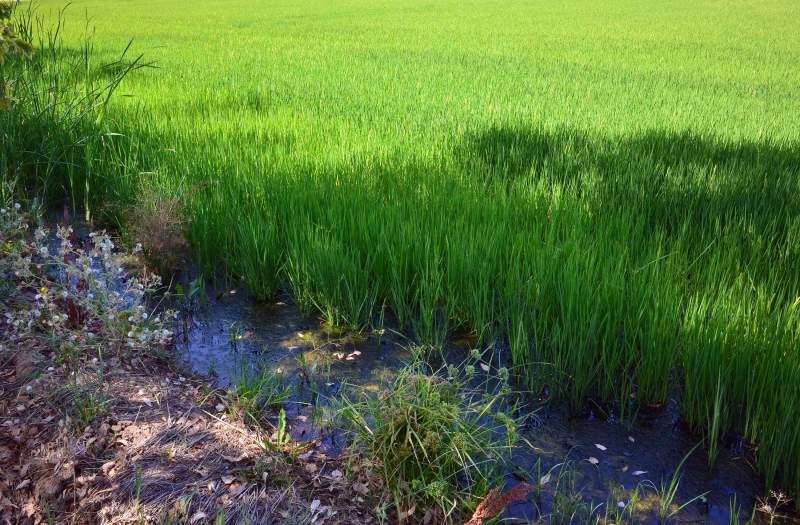 Rice-Field_DSC_0833