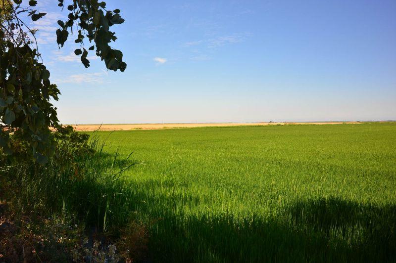 Rice-Field_DSC_0834