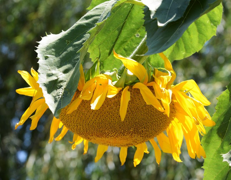 Sunflower_DSC_9892