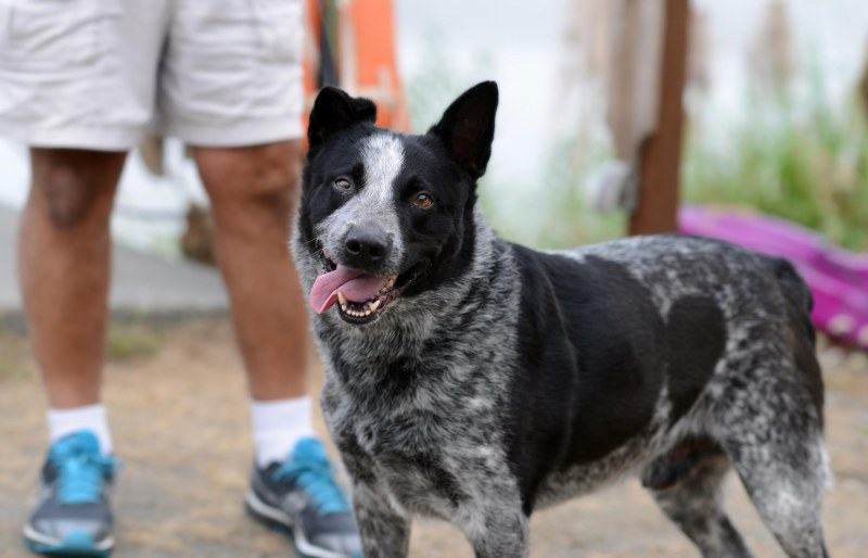 Australian Cattle Dog_DSC_1457