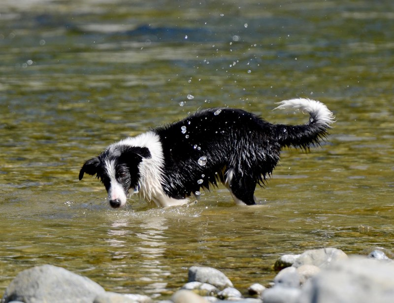 Border Collie_DSC_2541