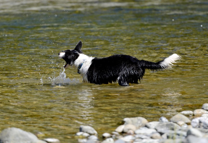 Border Collie_DSC_2554