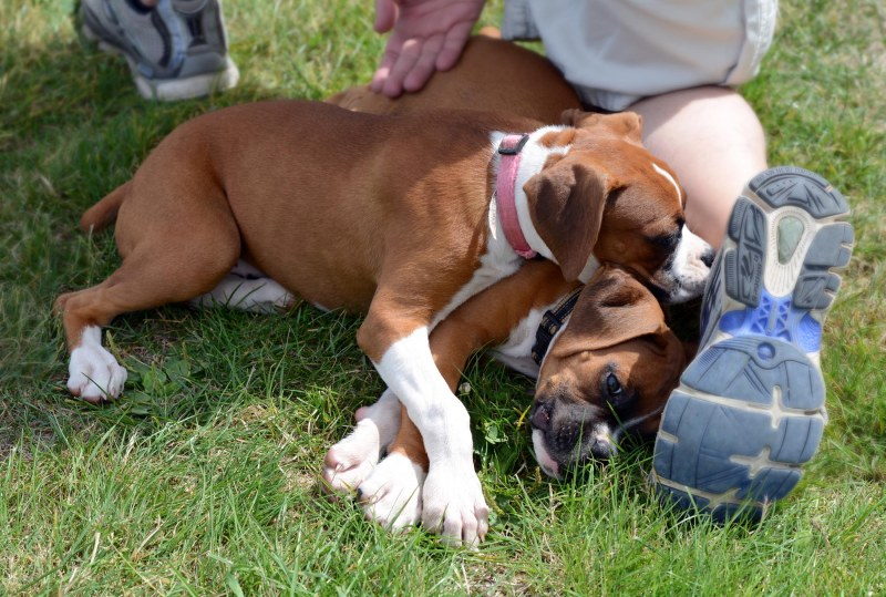 Boxer Puppies_DSC_2147