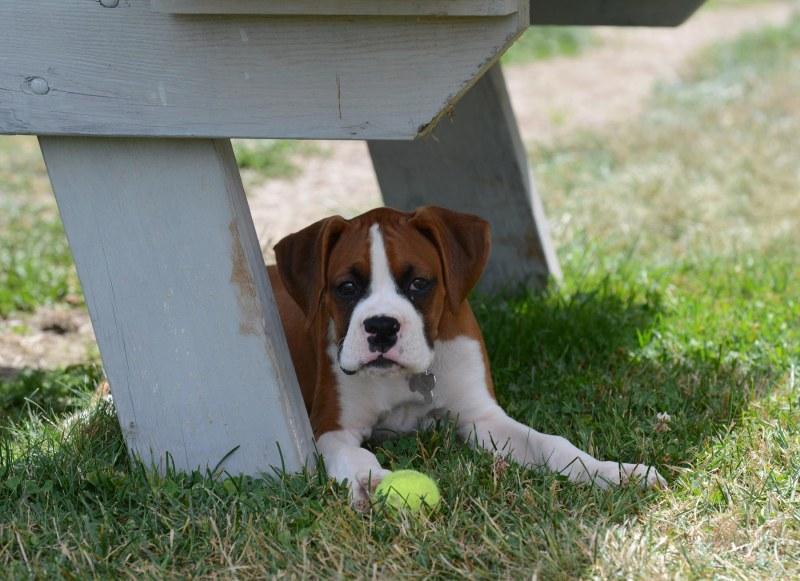 Boxer Puppy_DSC_2127