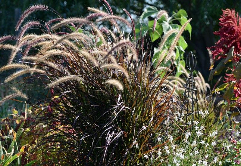 Fountain Grass_DSC_3956