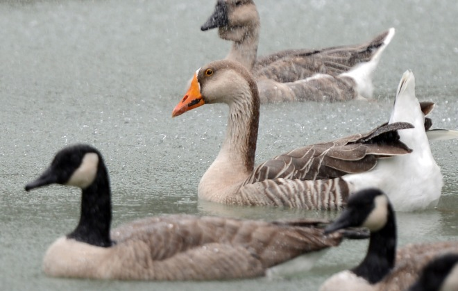 Goose_DSC_4299
