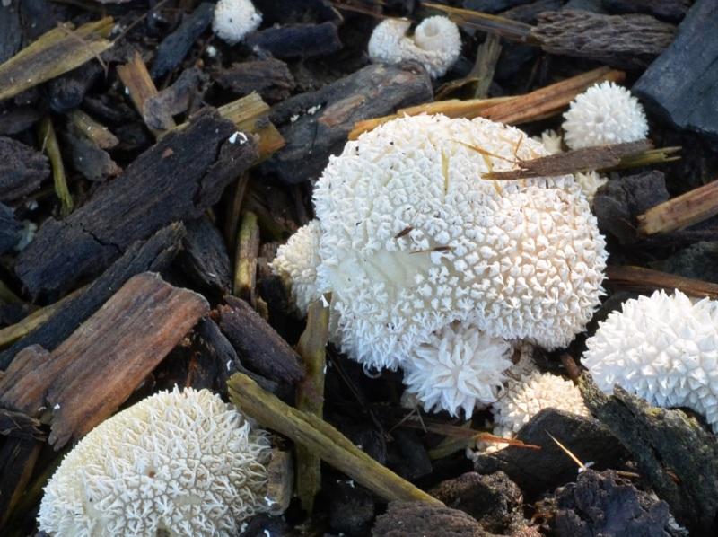 White-Mushroom_DSC_0047