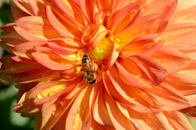 Bee_Dahlia_DSC_5292