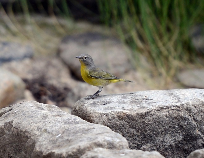 Bird_Yellow_Grey_DSC_4503