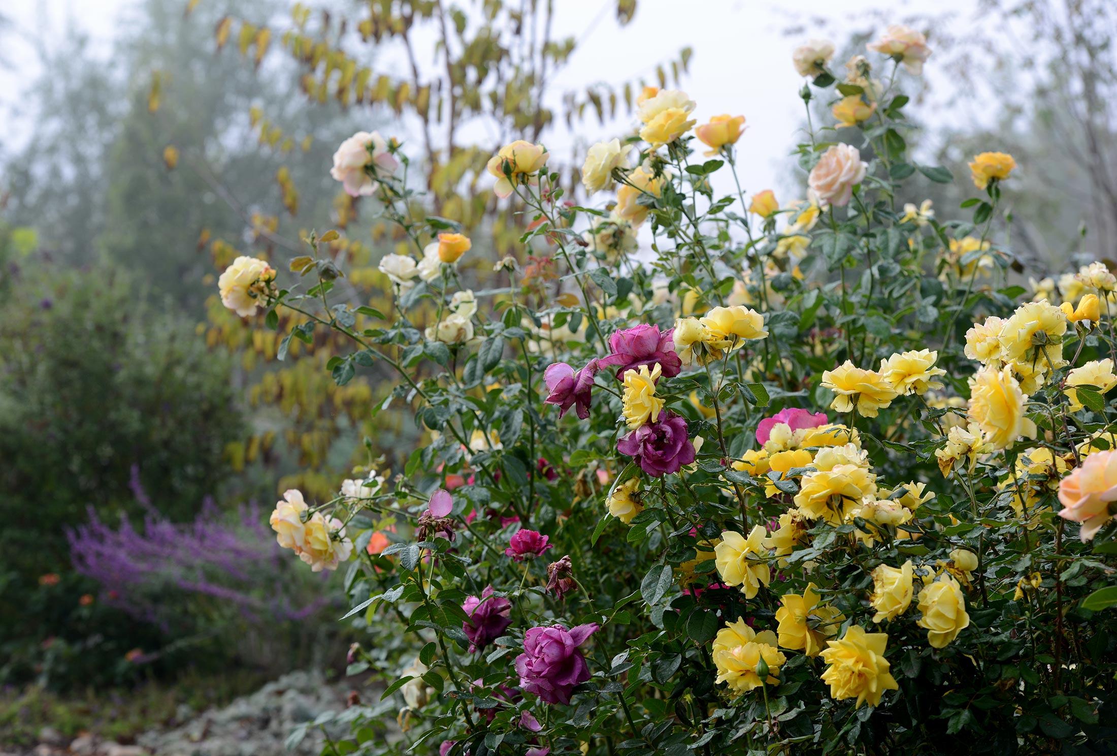 Fog_Garden_DSC_7118