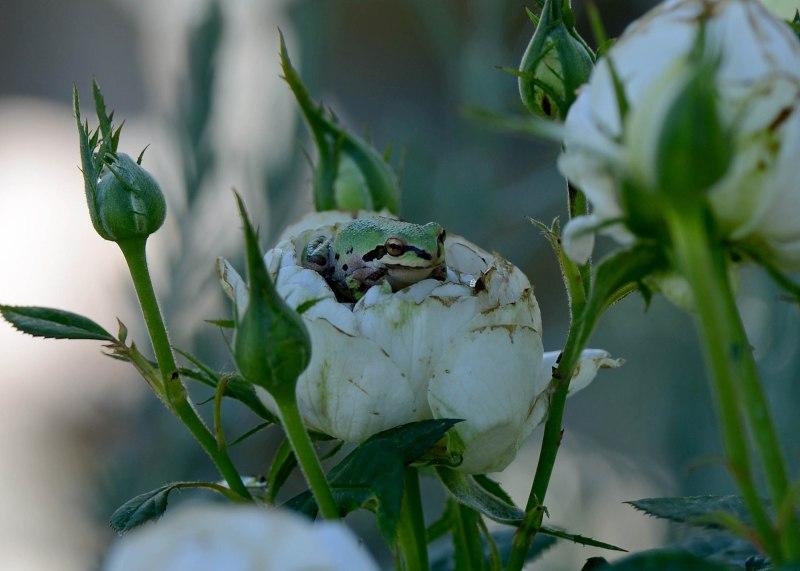 Frog in Rose_DSC_4902