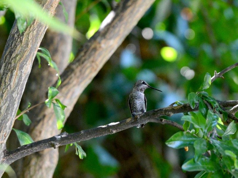 Hummingbird_DSC_5422