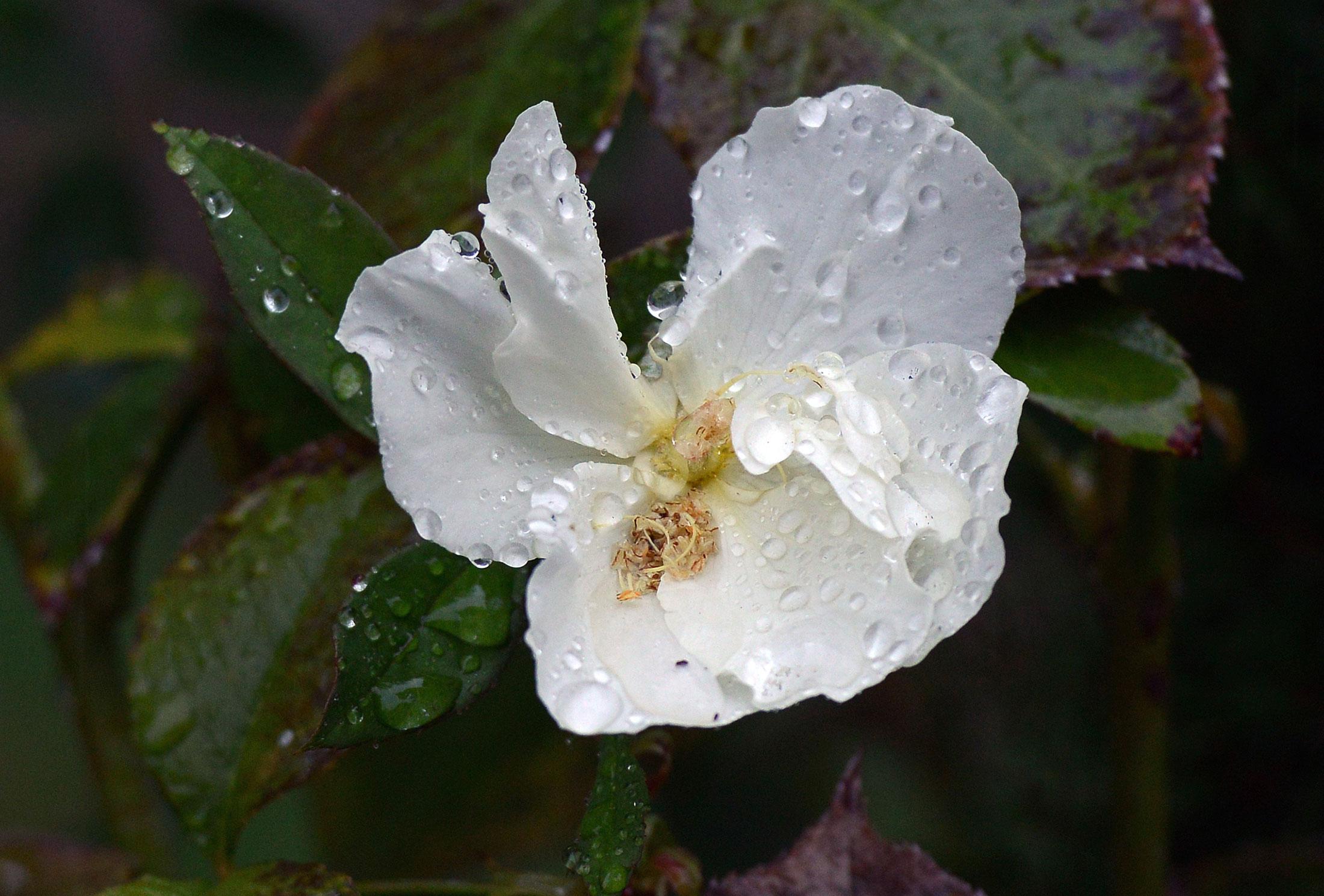 Rain_Rose_DSC_6852