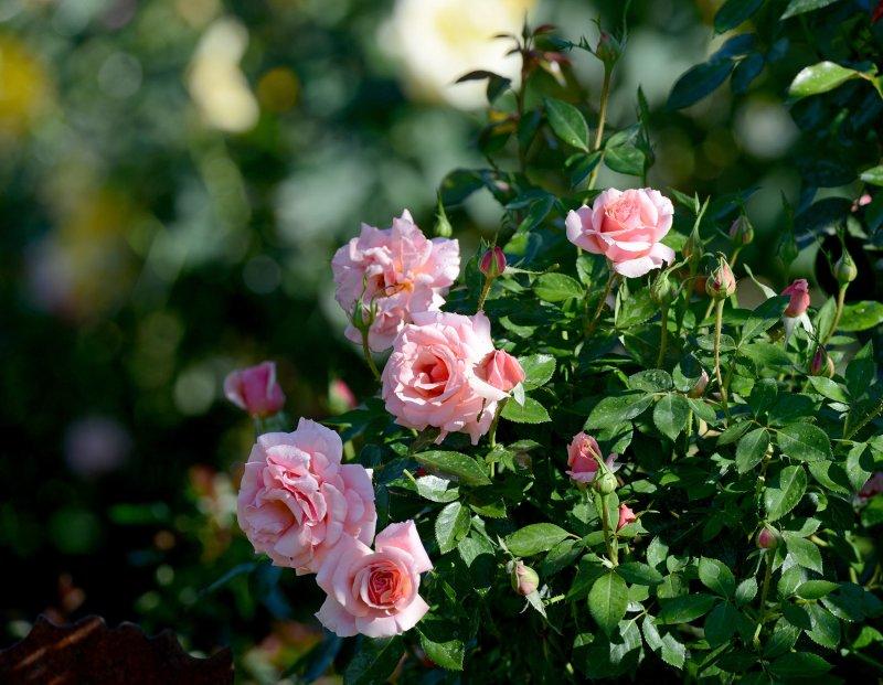 Roses_DSC_6247
